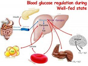 Blood glucose regulation during well-fed state
